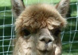 Alpaka Geschichte vom Inkaerbe zum Düngemittellieferanten